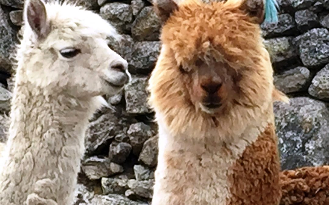 Alpacas vary in color, including shades of white
