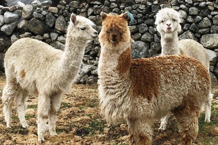 alpacas 3