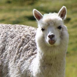 alpaca donation